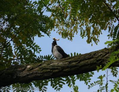 Краковская ворона